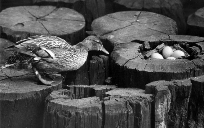 In April 1945, Gertie the Duck began to lay her eggs on a piling just south of the Wisconsin Ave. bridge in downtown Milwaukee.  Photo from the Journal Sentinel Files.