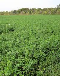 Grimm alfalfa