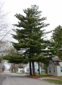 White pine found in the city