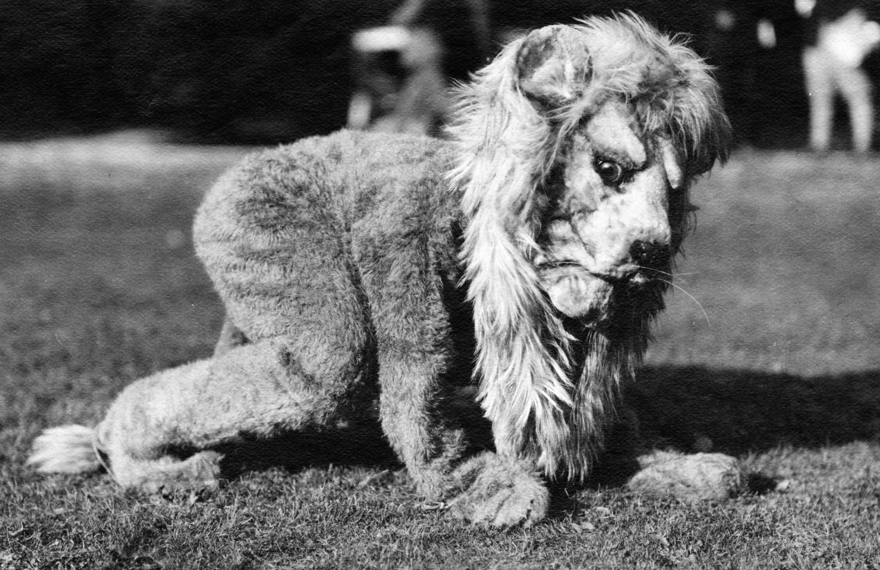 This picture from 1922, from the Happy Valley website, is of the original Nittany Lion. The mascot has taken on many different forms throughout the years.