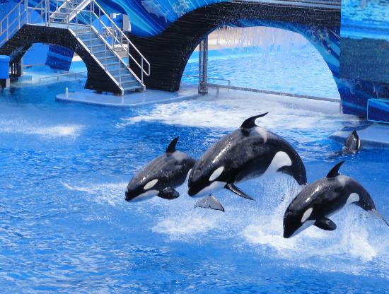 Some of the orca whales included in the Shamu shows