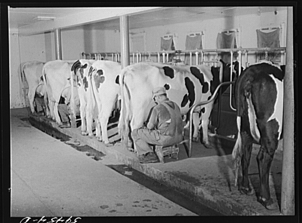 These milk stanchions at Two River Non-Stock Cooperative in Waterloo, Nebraska would have been similar to the ones used at the Ackerhurst farm.  You can see in the photograph the windows along the wall are a similar design to the milking floor windows at the Ackerhurst Barn.  The function of these windows was to