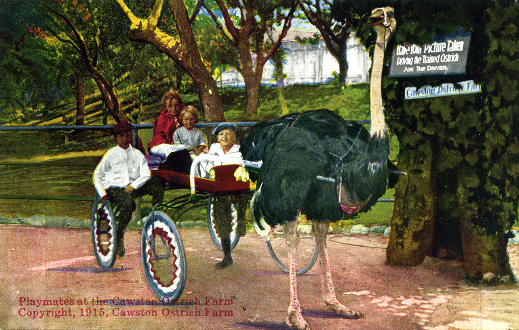 Riding an ostrich-driven carriage in Cawston's Farm (www.image-archeology.com)