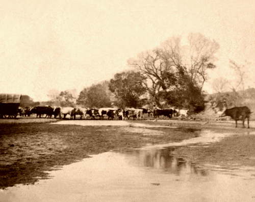 Cows along the Smoky Hill River in Ellsworth, Kansas. 1867