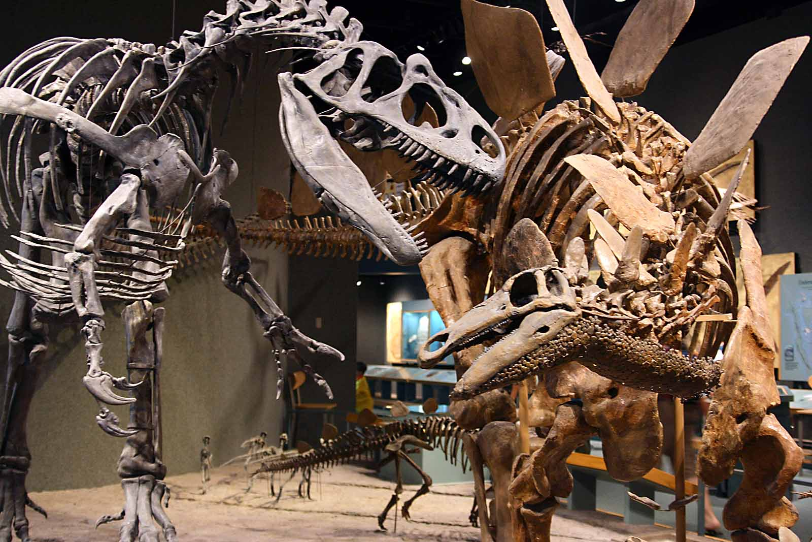 These skeletons are on display in the Prehistoric Journey exhibit, which explores the evolution of life on earth.
