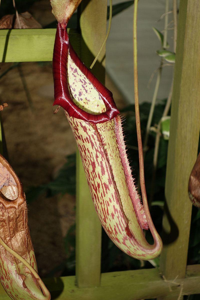 Close up of a Nepenthes 'Miranda' pitcher