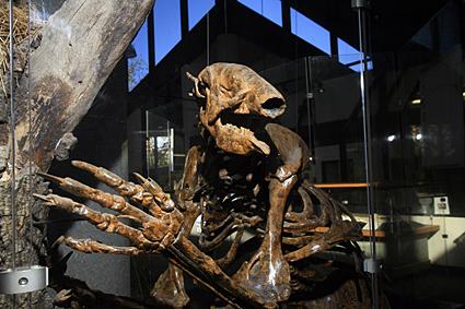 Giant sloth skeleton on display.