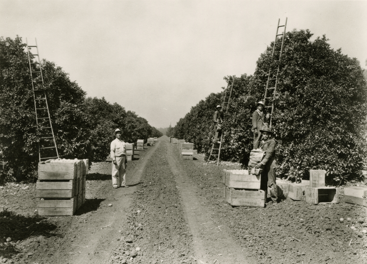 Workers harvesting oranges in earlier times.