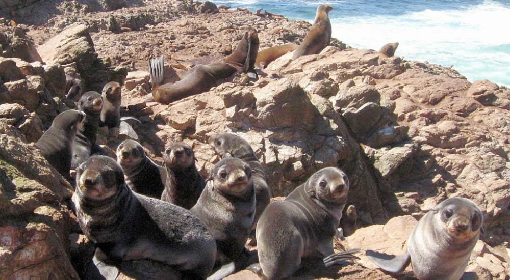 Fur seal pups at the marine sanctuary (image from the Greater Farallones National Marine Sanctuary)