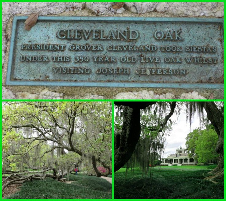 The Cleveland Oak at Jefferson Island.