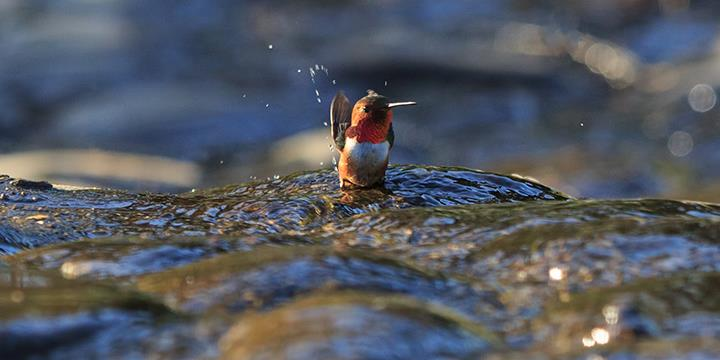 Hummingbird bathing at El Polín Spring (image from Golden Gate Audubon Society)