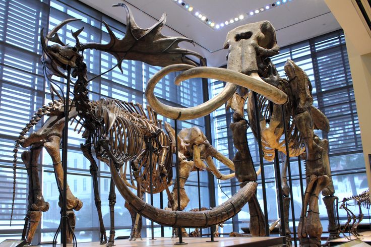 Irish elk and mastodon skeletons (or is that a mammoth?)