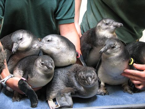 Penguin chicks hatched at the New England Aquarium (image from Zooborns)