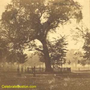 Boston Common's Great Elm (image from Celebrate Boston)