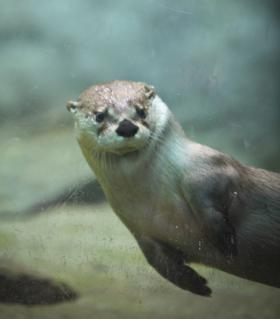 One of the museum's otters swimming (image from EcoTarium)