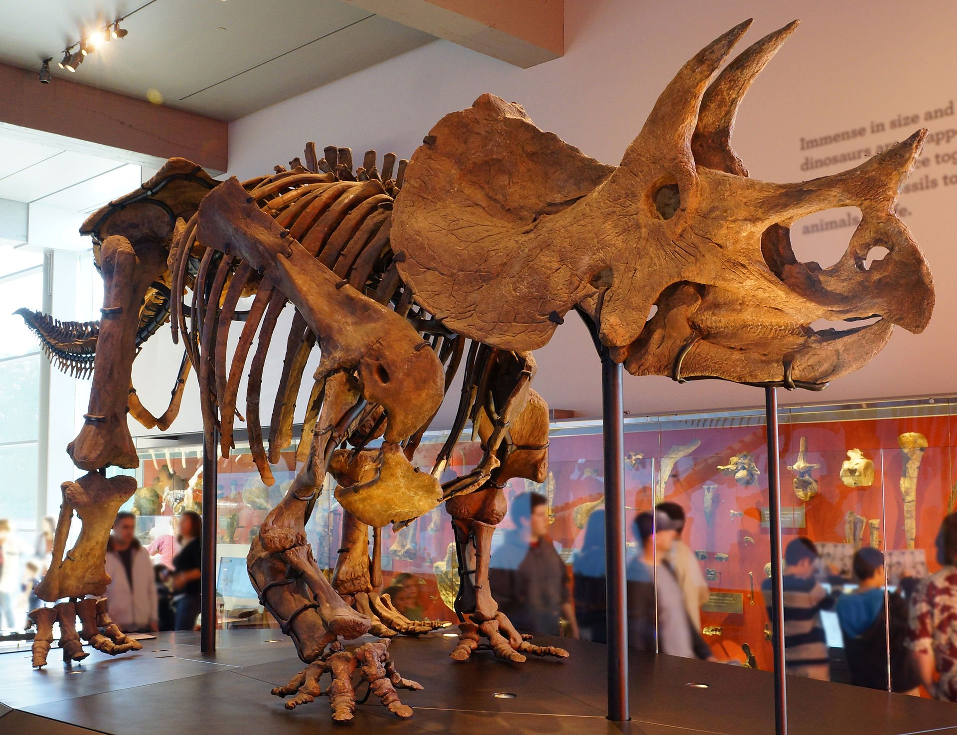 This triceratops skeleton is one of numerous dinosaurs on display at the museum.