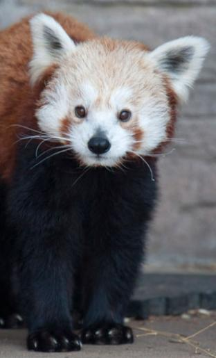 A red panda at the Denver Zoo (image from the Denver Zoo)