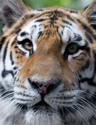 Amur Tiger at the Denver Zoo (image from the Denver Zoo)