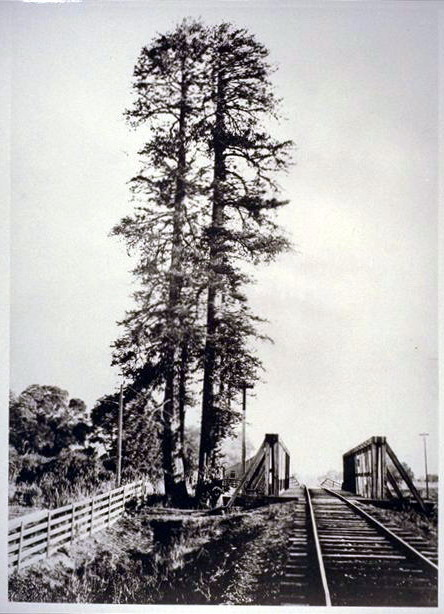 This image of the tree in 1875 shows what it looked like when it had two trunks. After the second trunk perished, naturalists were able to determine the tree was 960 years old by counting its rings.