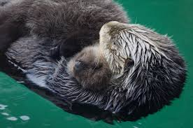 Mother and baby otters at the aquarium (image from the Seattle Times)