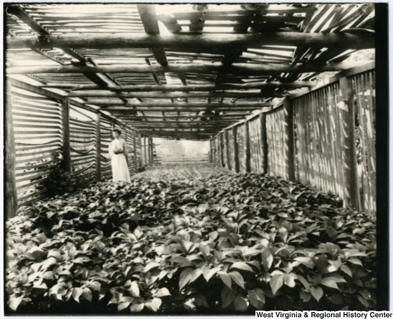 The Lehmann Family Ginseng Patch