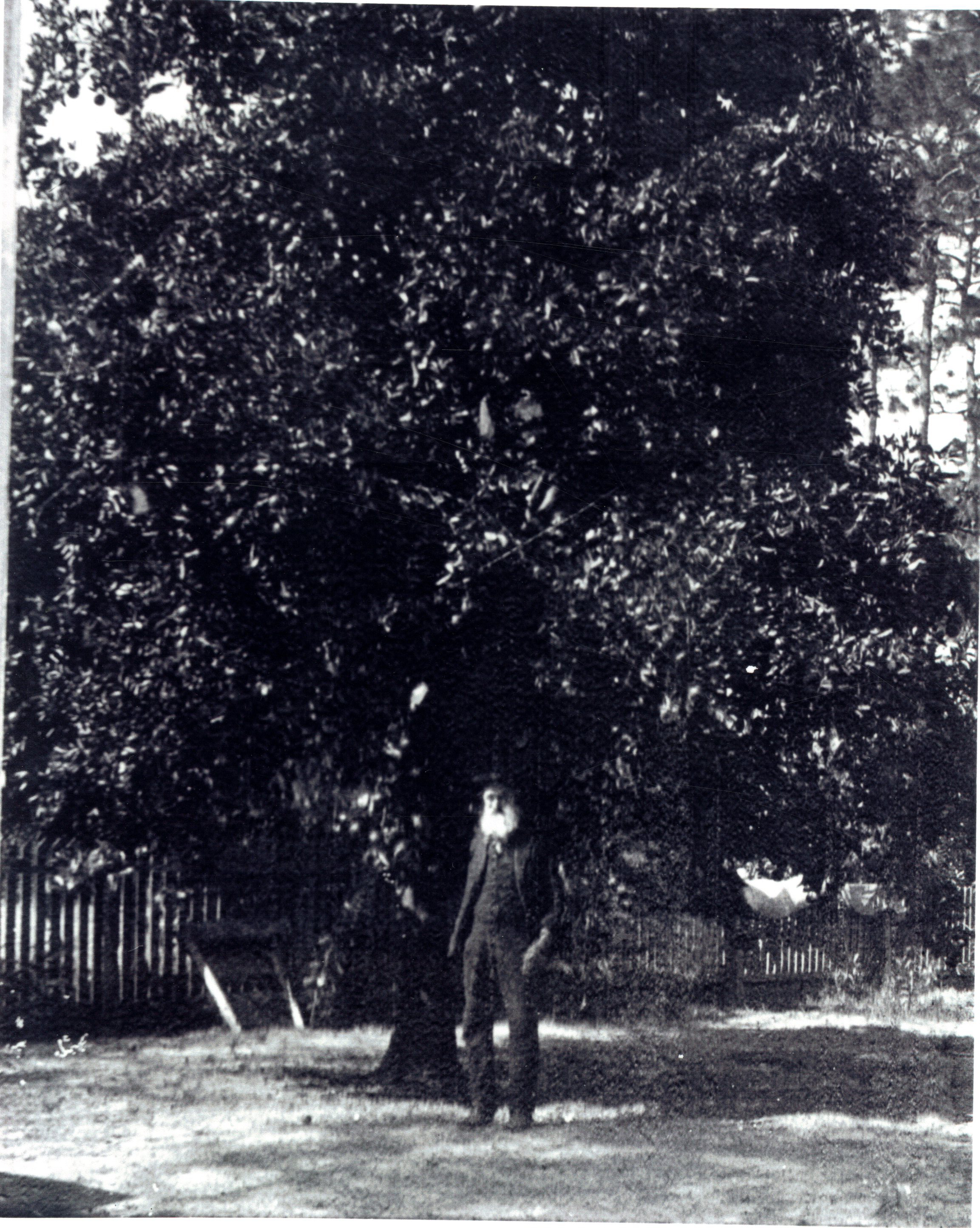 Daniel McMullen in front of an orange tree in Largo, Florida, circa 1890.