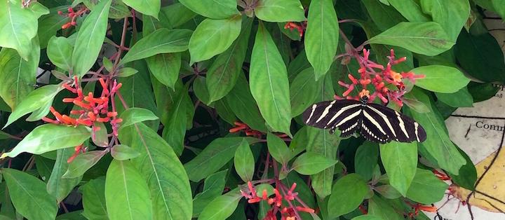 Butterflies in the Butterfly Garden.