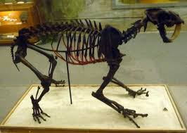 A saber-tooth tiger skeleton in the Ice Age exhibit.