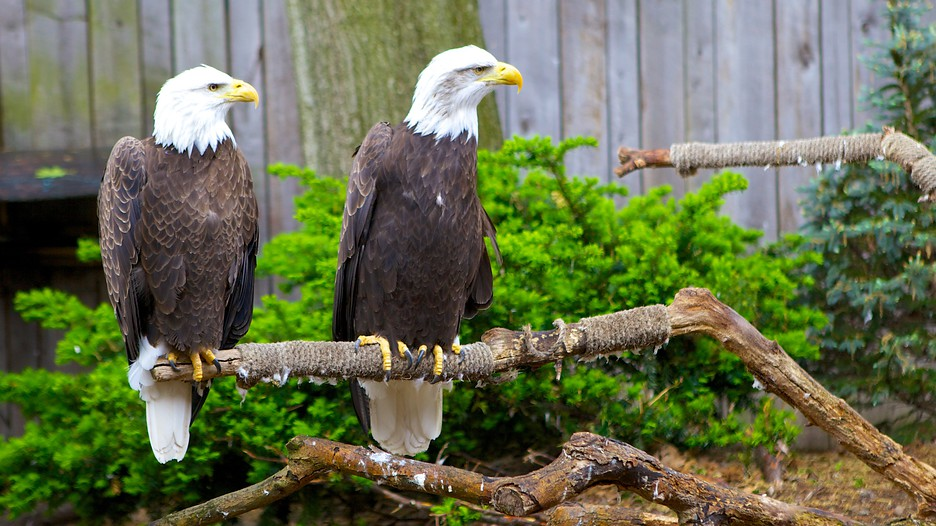 The National Aviary's bald eagles have injuries that keep them from being released to the wild. There are currently more than 200 breeding pairs of bald eagles in Pennsylvania.