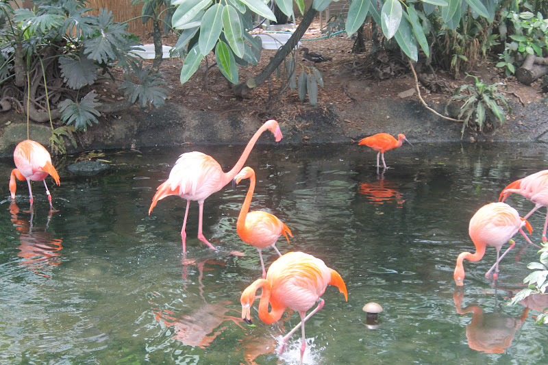"Flamingos consume shrimp and algae that turns their feather pink. Visitors to the National Aviary can also book ""Flamingo treks"" to meet the flock up-close"
