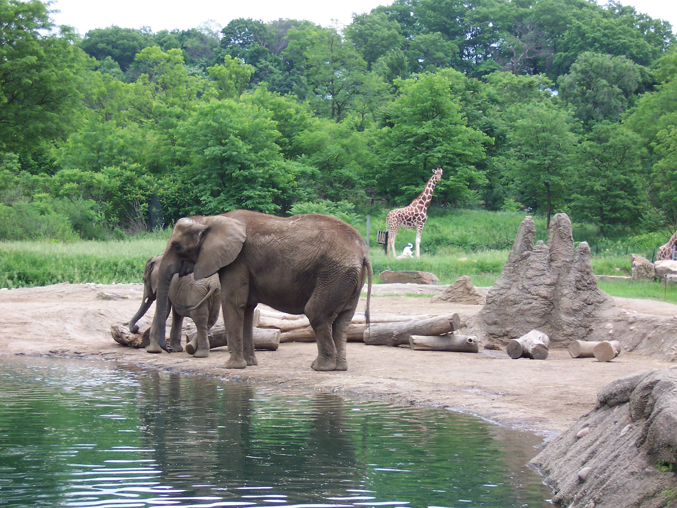 Elephants with a giraffe in the background at the zoo's African Savanna exhibit.