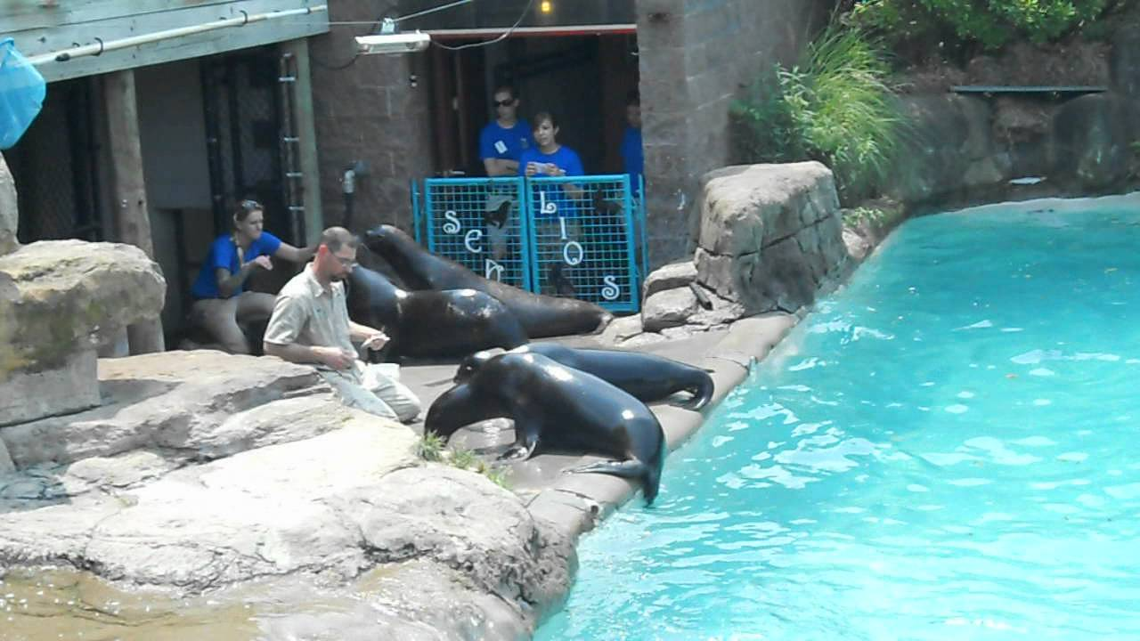 Feeding time at the sea lion exhibit.