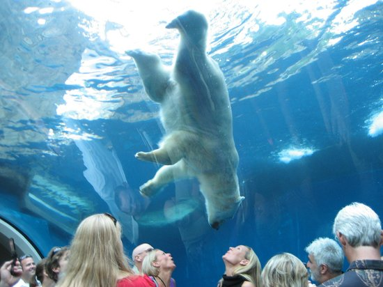 A polar bear standing on its head above zoo patrons.
