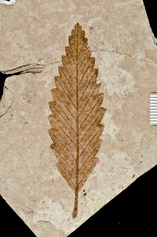 An ancient, fossilized leaf found at the monument (animal fossils are collected and displayed as well)