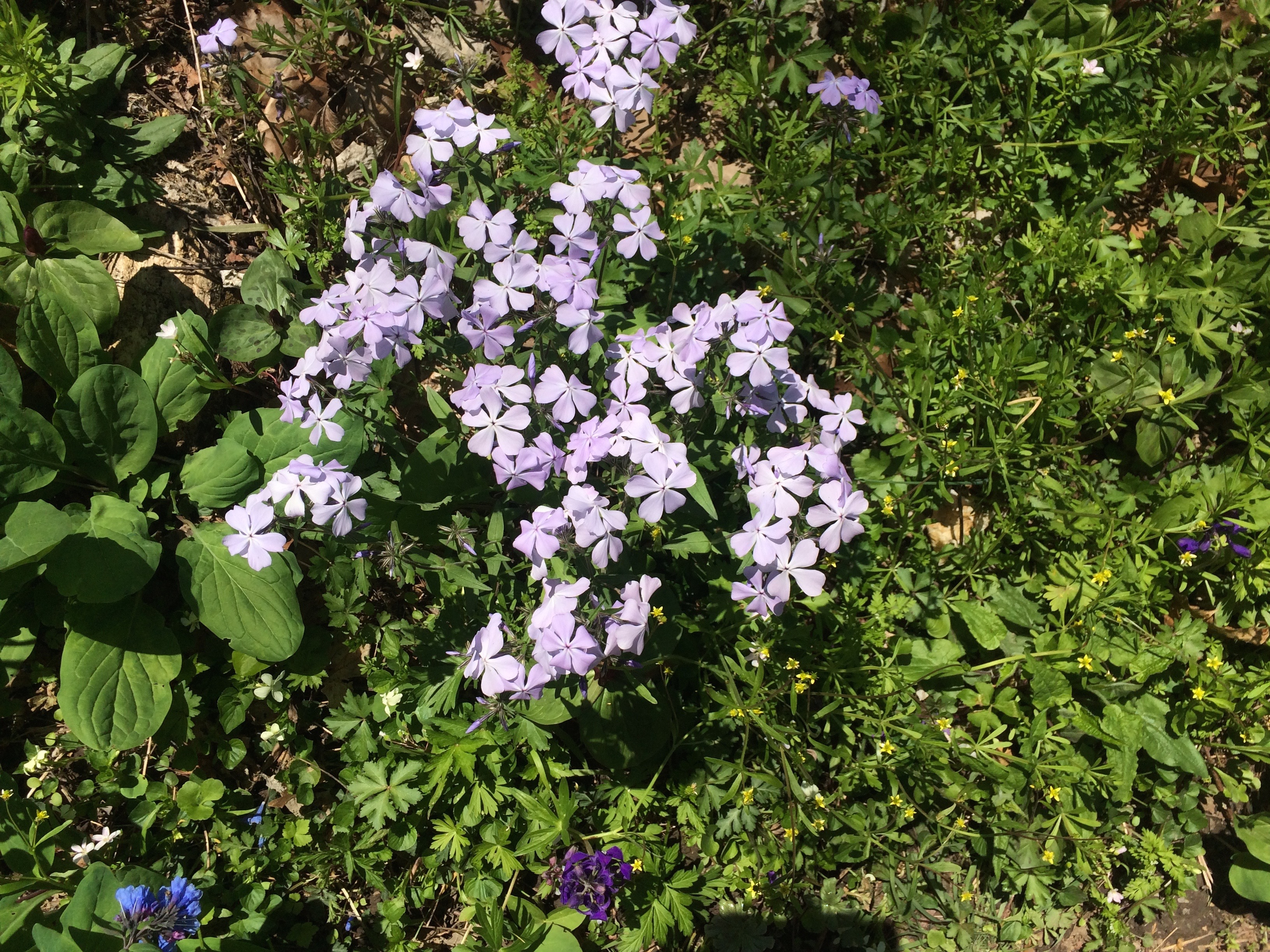 Phlox are a five-petaled spring flower that grow in clusters.
