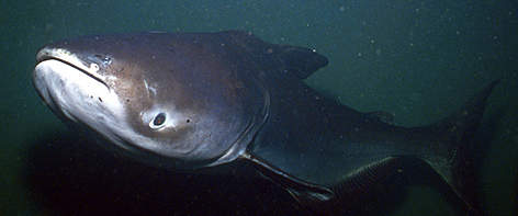 Giant Catfish, similar to that found in Lake Manitou