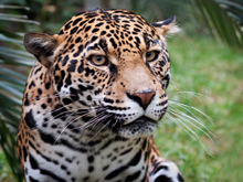 The zoo's jaguar (image from Happy Hollow Park & Zoo)
