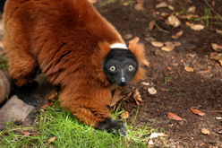 One of three species represented in the Lemur Woods, the Red-Ruffed Lemur (image from Happy Hollow Park & Zoo)