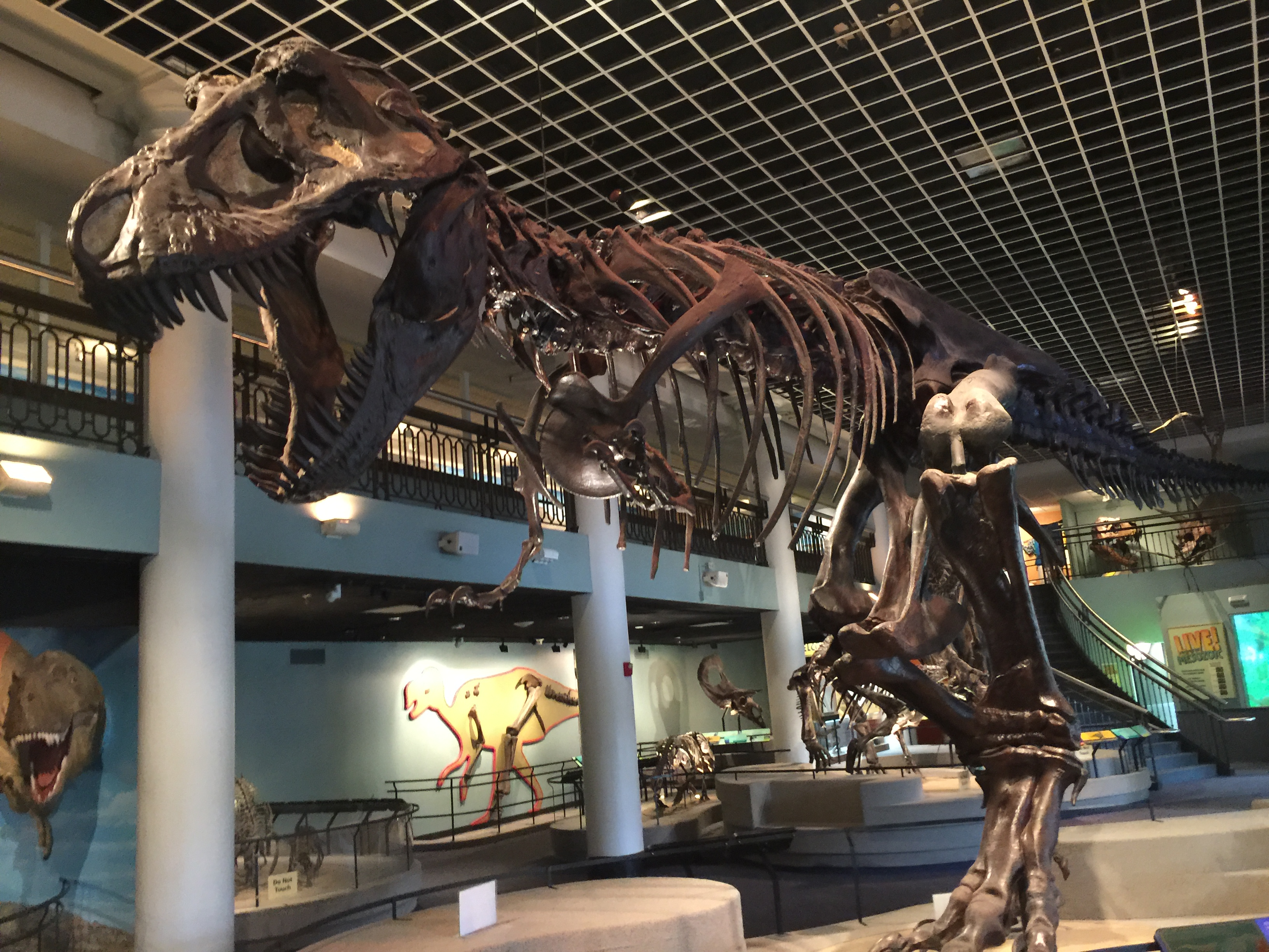 This full-size T. Rex is over 42 feet long and weighs in at 7.5 tons...when alive that is.
