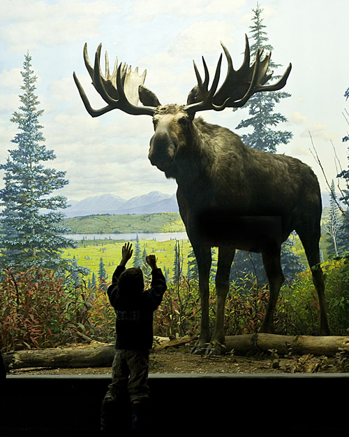 A young patron is dwarfed by a bull moose (not named Teddy Roosevelt) in the North American diorama exhibit.