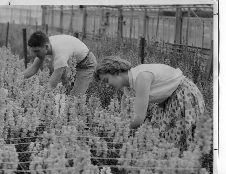 Students in the greenhouse working on snapdragons.