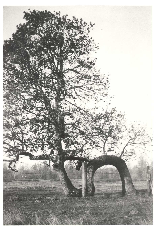 Lovers Oak c1950