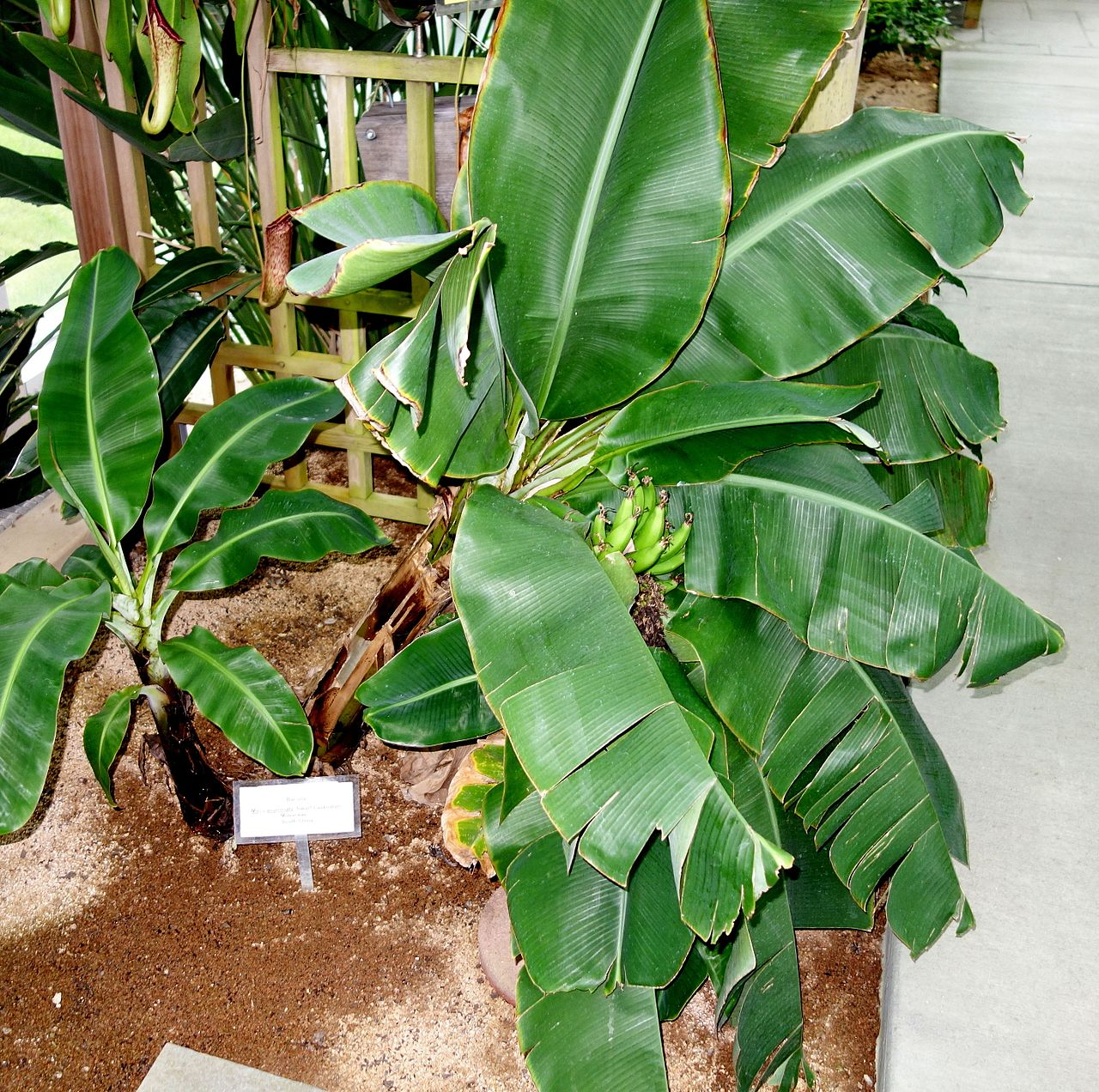 Musa acuminata, a species of banana, in the conservatory
