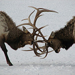 Elks fighting for mate on the refuge