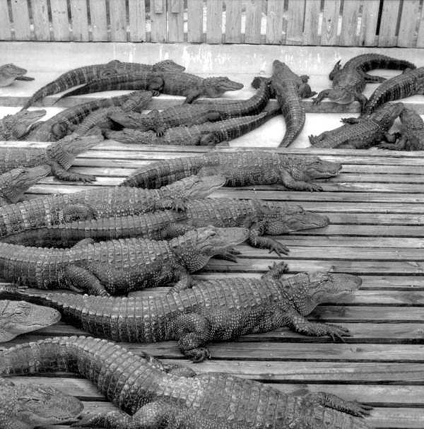 A view of some of the alligators within the reserve in the 1970s.