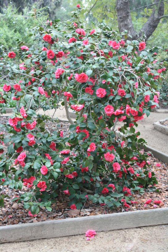 Camillas in bloom