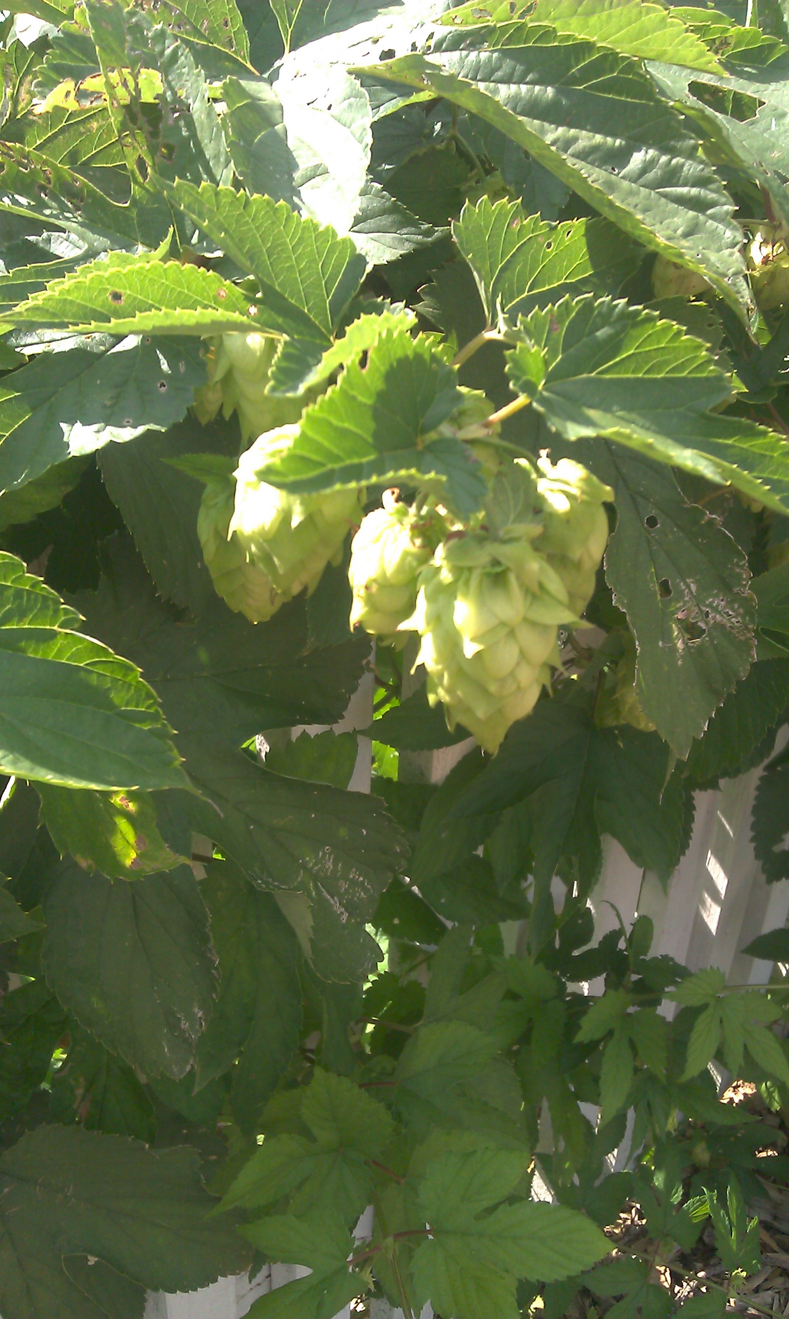 Hops cones at MLSP. These herbs have been used for different purposes through history.