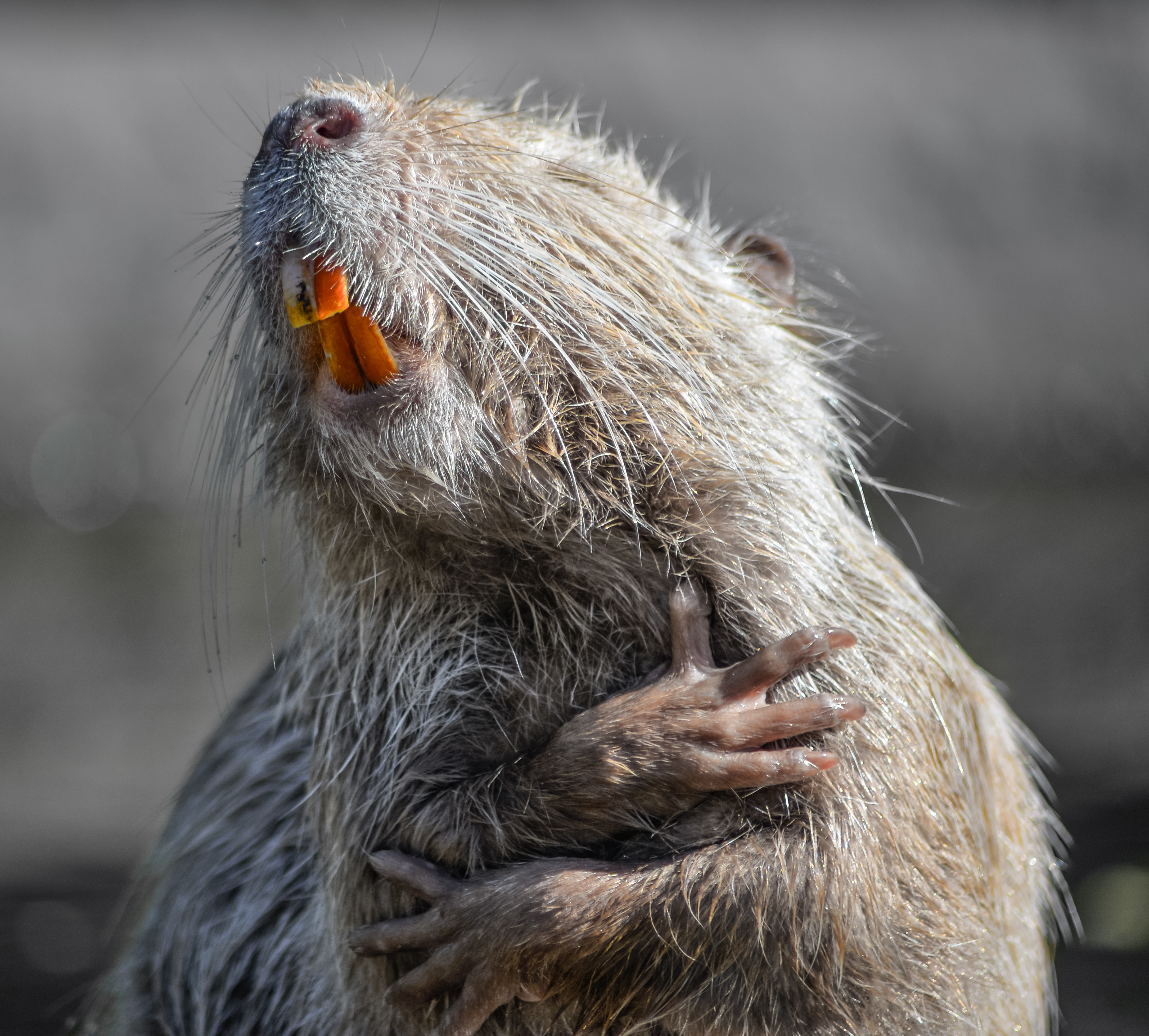 Laughing nutria