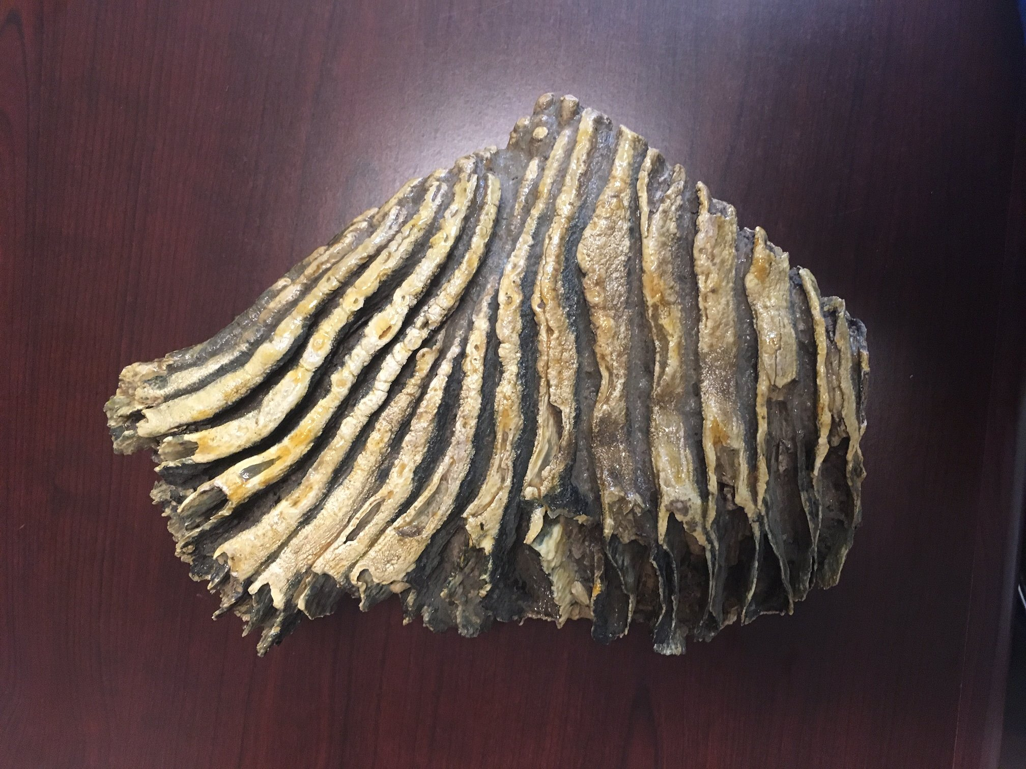 Mammoth Tooth, Paleo Period- 15000 BC through 9000 BC . The biggest grinding teeth in all of the animal kingdom