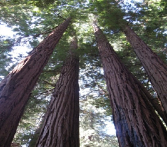 Redwood trees are the tallest living things on the planet, capable of growing more than 300 feet high.